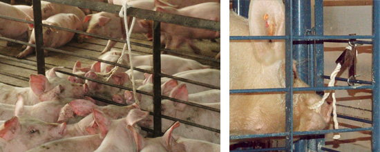 Pueden recogerse muestras de corrales o de cerdos individuales