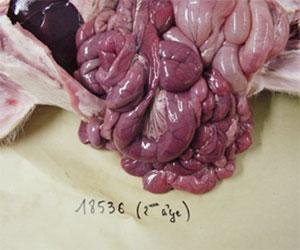 Intestino delgado de un lechón con colibacillosis