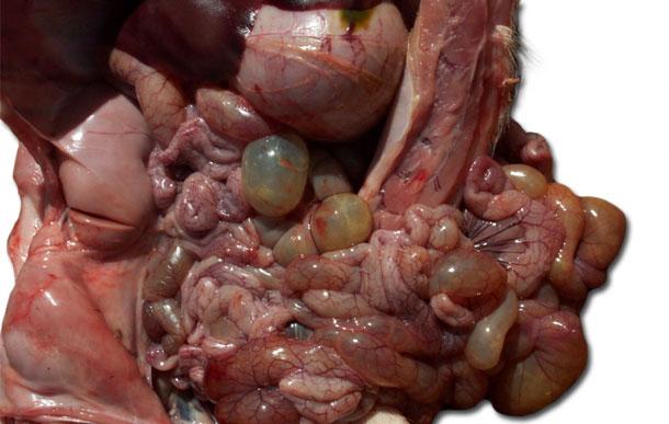 Figura 3. Necropsia de un lechón afectado, nótese la dilatación de las asas del intestino delgado y grueso.