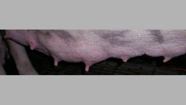 Diferencia visual entre las glándulas utilizadas y las no utiliazdas a los 7 días de lactación.