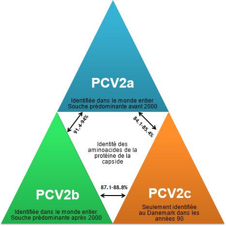 Principaux génotypes du PCV2 et leur relation sur la base des gènes de la capside