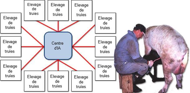 Exemple de la dissémination du PCV2 depuis le centre d'insémination jusqu'aux élevages de truies
