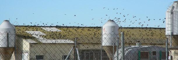 Présence d'une grande quantité d'oiseaux dans un élevage porcin.
