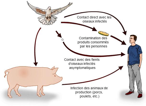 Voies possibles de transmission de Salmonella spp .des oiseaux sauvages à l'homme.