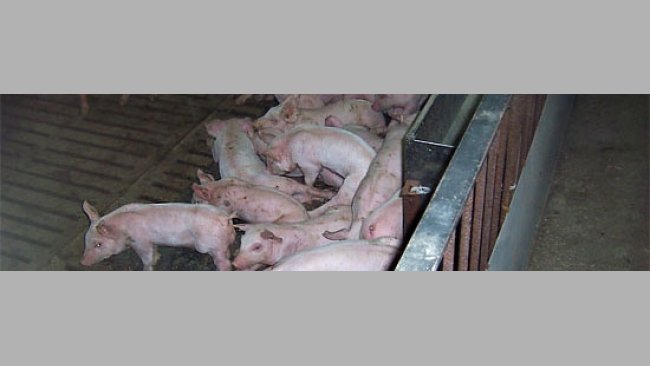 Besoins de base du porc en croissance