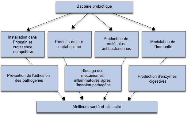 Mécanismes impliqués dans les effets positifs des probiotiques sur la croissance et la santé des animaux