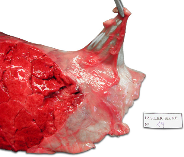 Poumon gauche d'un porc. Pleurésie dorso-caudale chronique qui touche la partie crâniale du lobe diaphragmatique. Décollement typique de la plèvre.