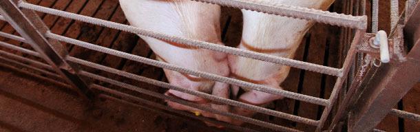 Contact nez à nez entre porcs