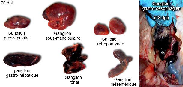 Ganglions