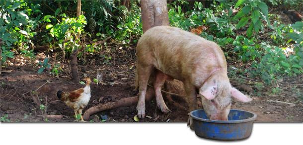 Porc de basse-cour à Gulu, Ouganda, où apparaissent régulièrement des épisodes de PPA