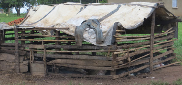 Exemple d'un logement porcin précaire en Ouganda