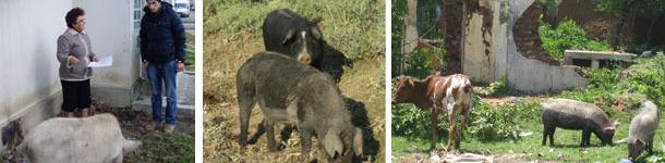 Porcs cherchant des restes dans un environnement urbain