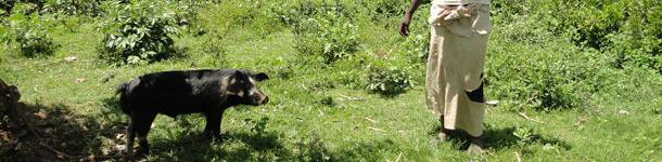 Porc en extensif attaché à un arbre pour éviter des dommages aux cultures proches à Homa Bay – Kénya