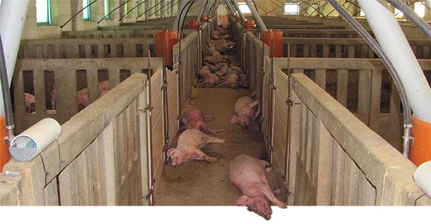 Porcs morts dans l'élevage