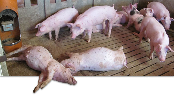 Porcs morts dans lélevage