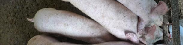 Il est normal de trouver des porcs avec des poids hétérogènes dans les élevages touchés par MS-PCV2 et PCV2-SI