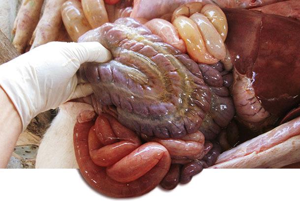 utopsie d'un porcelet atteint avec de l'œdème du mésocôlon.