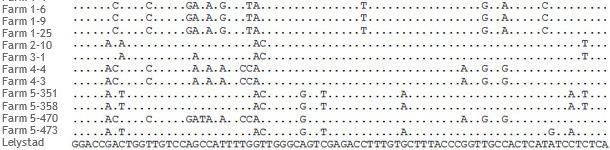 Fragments d'alignement de séquences ORF5 de souches de SDRPv de 5 élevages différents
