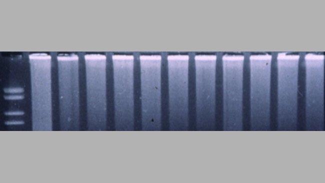 PCR fluorogénique pour détecter le SDRPv.