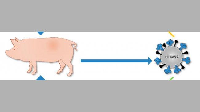 Origine du virus H1avN2 décrit au Danemark et en France