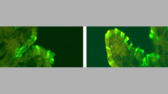 Immunofluorescence du vDEP chez de porcs inoculés avec CV777