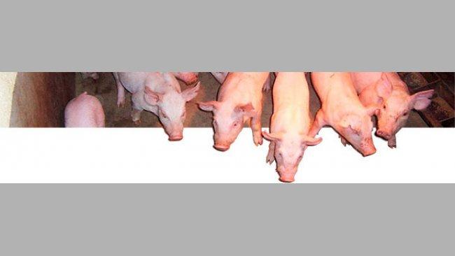 Les caractères des porcs en croissance et finition sont modérément héritables