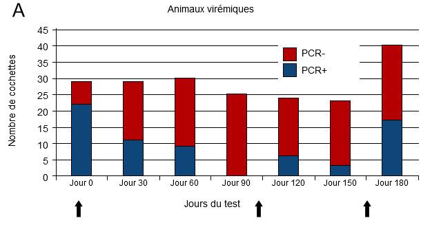 infection par le virus SDRP dans un élevage instable.