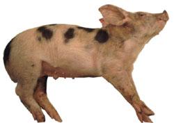 Porc en décubitus latéral dû à des symptômes nerveux (nystagmus, extension des extrêmités et opistootonos) dans le cas d'une ménigité causée par Haemophilus parasuis.