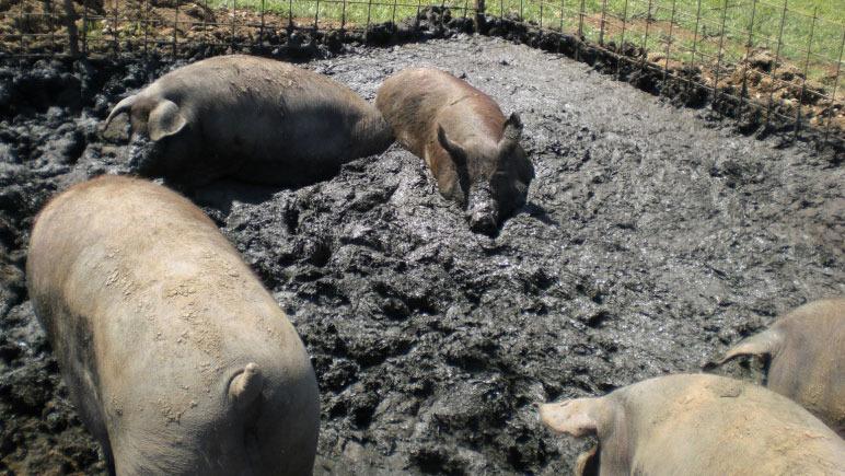 Porc ibérique créant sa zone humide pour se coucher sur une parcelle à l'extérieur.