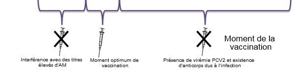 Détermination du moment optimum pour la vaccination des porcelets contre le PCV2