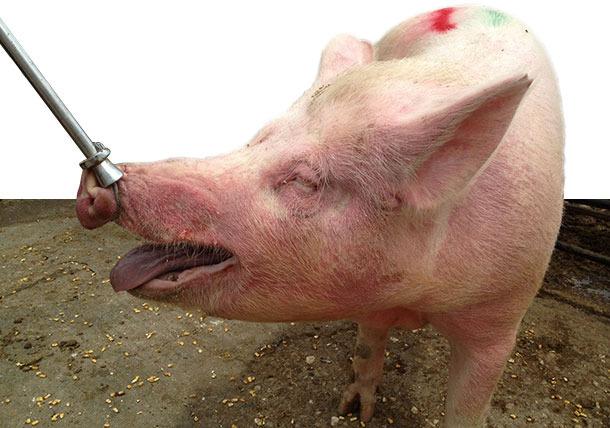 Truies malades logées en groupe avec de l'EM, caractérisé par des zones rouges et surélevées sur le cou et la face (particulièrement autour des yeux et des oreilles).