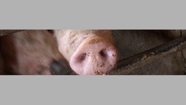 Impact de la grippe porcine sur la production