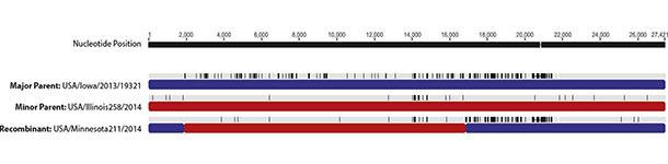Aires de recombinaison du génome du DEPv