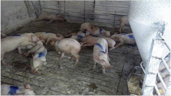 Porcs atteints