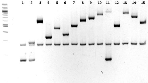 Caractérisation des sérotypes de Haemophilus parasuis