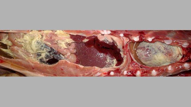 Polysérosite fibrineuse sur un porcelet de post-sevrage