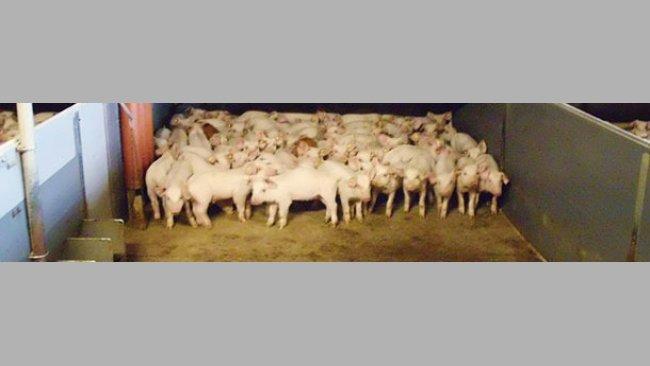 Les sols avec une partie caillebotis et une partie pleine sont assez courants dans beaucoup d'élevages.