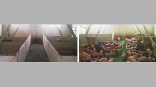 Photos 1 et 2: Dans les différentes salles décloisonnées, l'espace disponible par porcelet est meilleur que dans les salles traditionnelles. Source: Andres Donadeu, 2011.