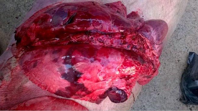 Lésions d'autopsie, compatibles avec pneumonie enzootique, influenza, SDRP et autres complications bactériennes
