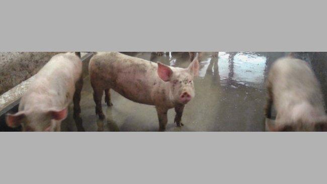 Porcs en engraissement avec case sale