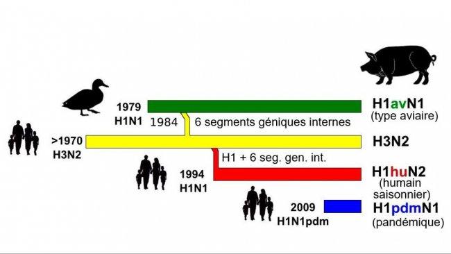 Figure 1. Histoire et origine des virus d'influenza porcine type A (IA) qui circulent actuellement enEurope. Veuillez noter qu'aucun de ces virus IA n'a leur origine dans le porc.