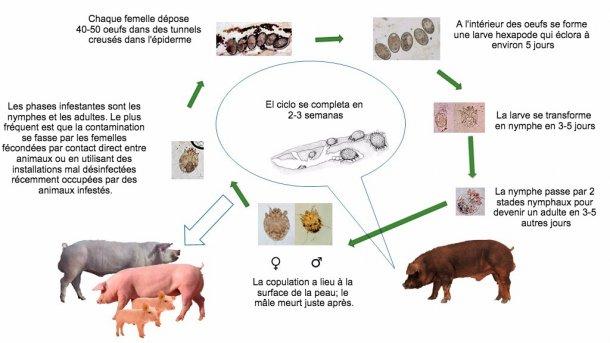 Figure 1. Cycle biologique de Sarcoptes scabiei
