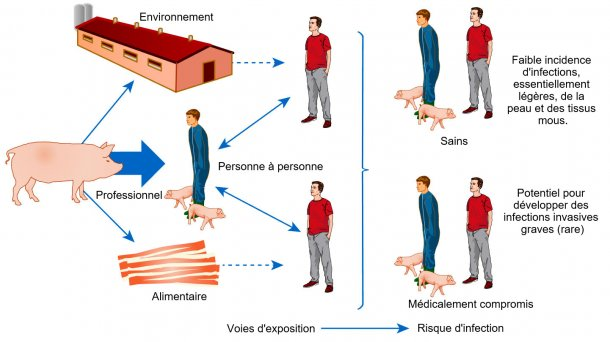 Modèle conceptuel des voies d'exposition et risques d'infection avec S. aureus associé aux animaux de rente