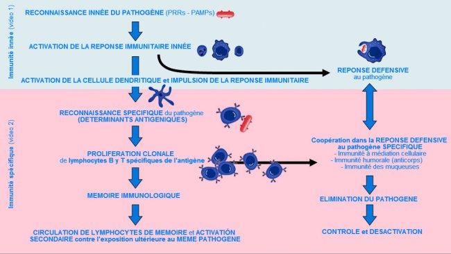 Figure 1. Phase d'apparition, d'activation et de progression de l'immunité innée et spécifique contre un agent pathogène.