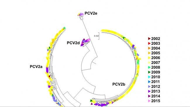 Figure 2. Arbre phylogénétique de vraissemblance maximum. Les 729 séquences ORF2 de la base de données UMV-VDL PCV2 ont un code de couleur suivant l'année. On observe les génotypes.