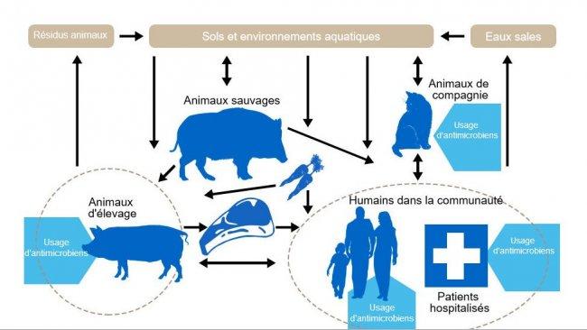 Flux des déterminants de la résistances aux antibiotiques entre les différents réservoirs. En bleu sont indiqués les points où sont administrés des antibiotiques. http://www.effort-against-amr.eu/