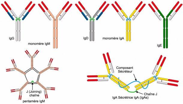 Figure 2. Les différentes séquences d'acides aminés de la région de la chaîne constante lourde(H) caractérisent différentes classes d'anticorps ou isotypes.
