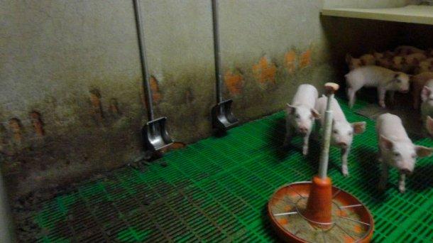 Image 3: Abreuvoirs type réservoir. Ce type d'abreuvoir a pour principal avantage de réduire le gaspillage de l'eau, réduisant ainsi le fumier produit. Au contraire, son placement correct dans la case est essentiel pour éviter qu'il se salisse.
