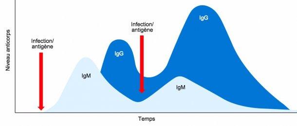 Figure 1: Changement isotypique et réponse immunitaire primaire et secondaire à des expositions ultérieures au même antigène.