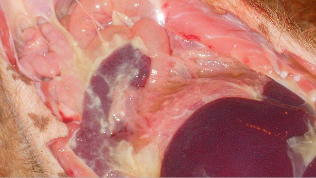 Polysérosite observée dans la maladie systémiqueà M. hyorhinis